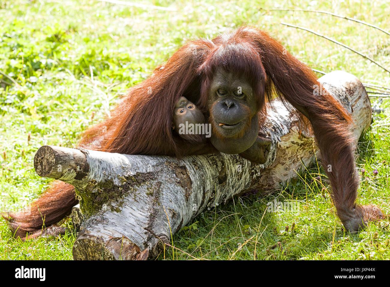 Les orang-outan (Pongo pygmaeus) avec infant baby modèle libération: N° des biens: Non. Banque D'Images