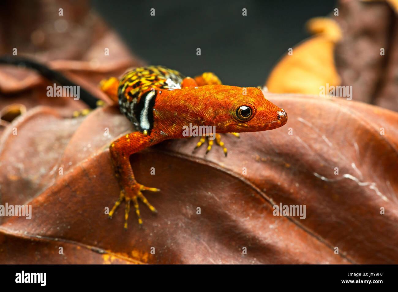 O'Shaughnessy's gecko (Gonatodes concinnatus) mâle, une espèce de gecko diurne, sphaerodactylidae, forêt amazonienne, dans le Parc National Yasuní, ECU Banque D'Images