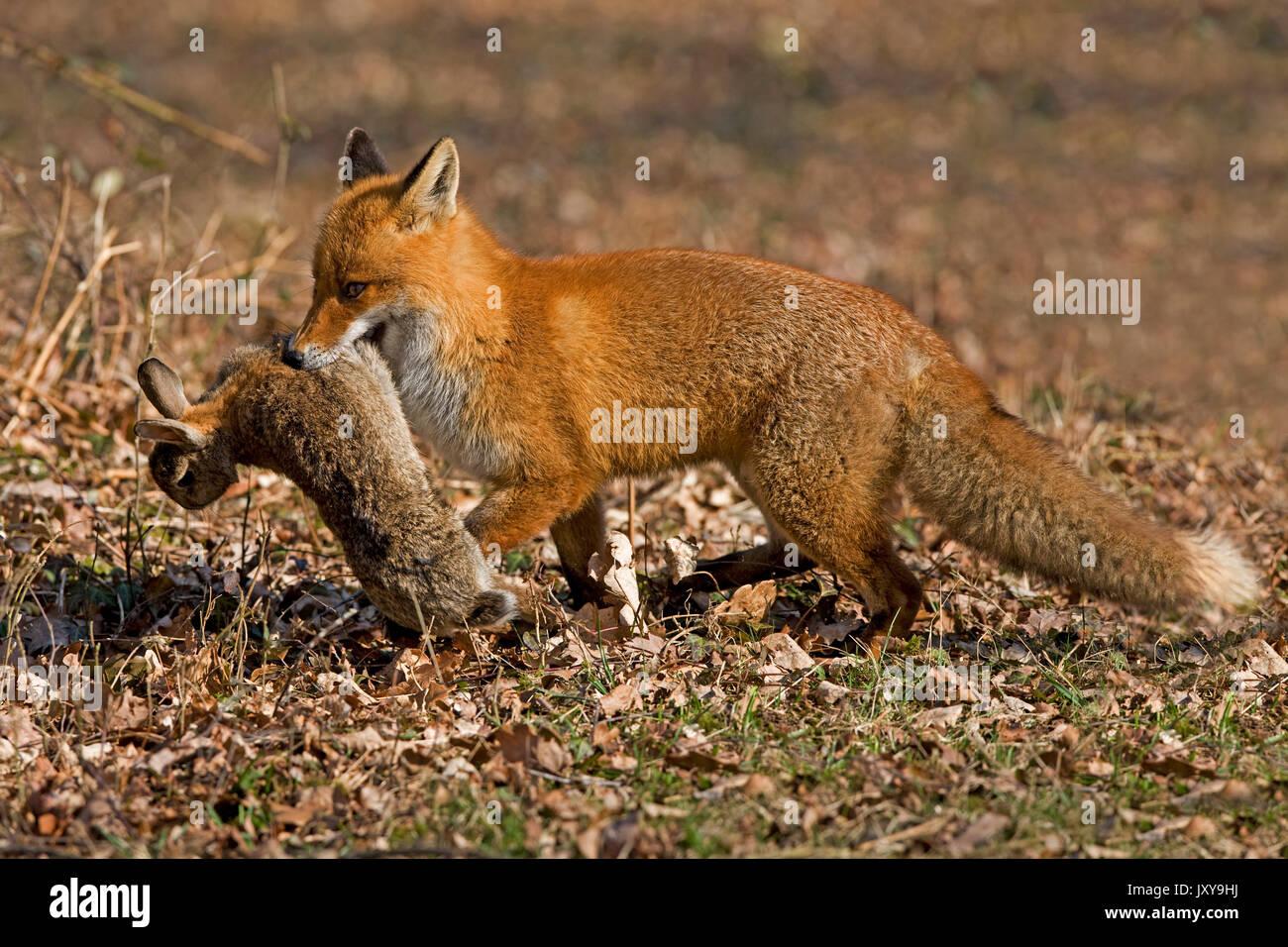 Le Renard roux Vulpes vulpes, DES PROFILS AVEC UN KILL, lapin, NORMANDIE EN FRANCE Banque D'Images