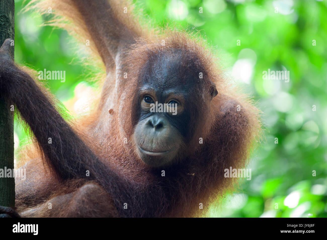 Orang-outan (Pongo pygmaeus) dans l'arbre, la réserve forestière de Sepilok, Sabah, Bornéo, Malaisie Photo Stock
