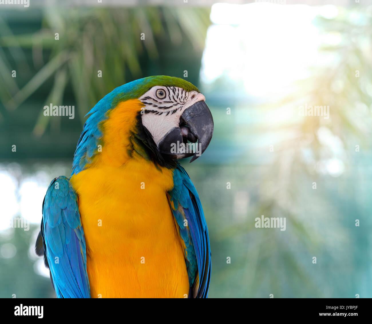 Blue-and-yellow macaw debout sur une branche avec arrière-plan flou. Photo Stock
