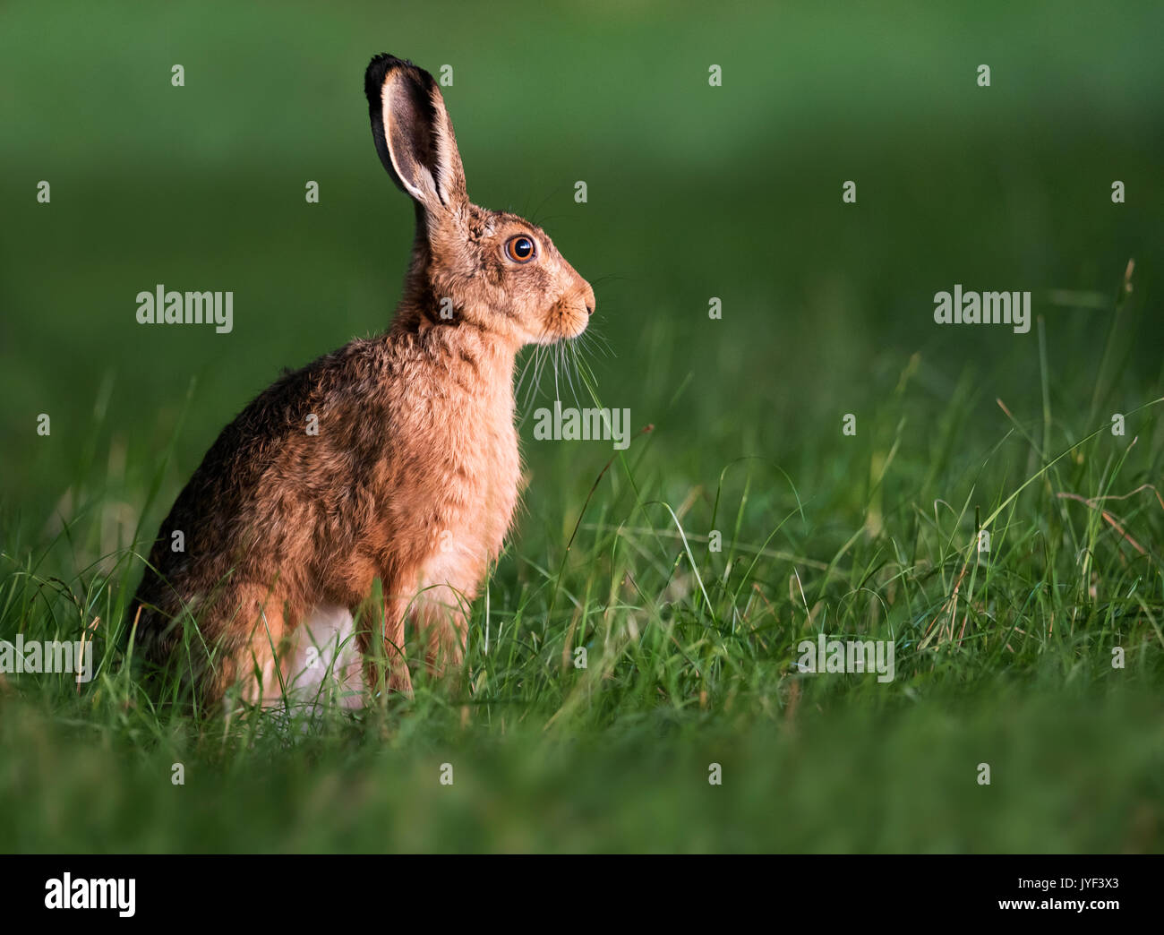 Lièvre brun (Lepus europaeus) in early morning light, Warwickshire Photo Stock