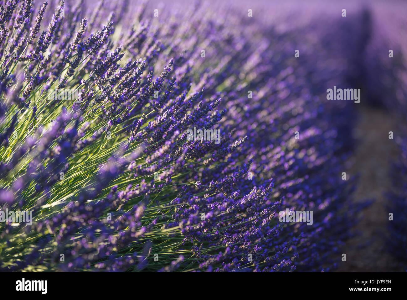 Lavender close-up, Valensole, Alpes, France Photo Stock