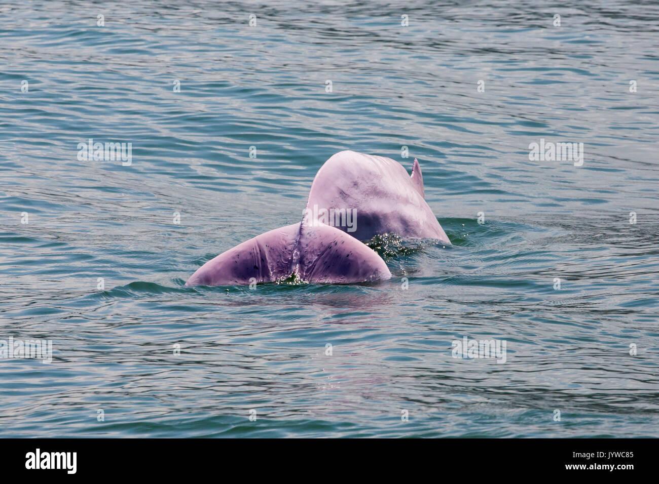 Dauphin à bosse de l'indo-pacifique (Sousa chinensis) fluking dans les eaux de hong kong. Cette espèce côtière est soumise à de plus en plus menacé par les humains. Photo Stock