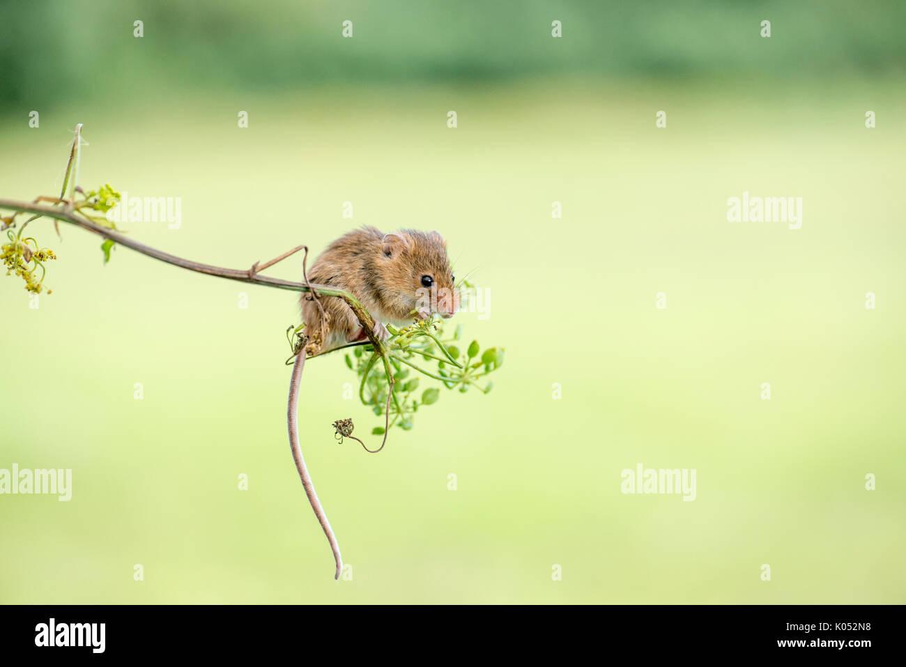 Micromys minutus (souris) la consommation de graines et de fleurs de panais sauvage (Pastinaca sativa) Photo Stock