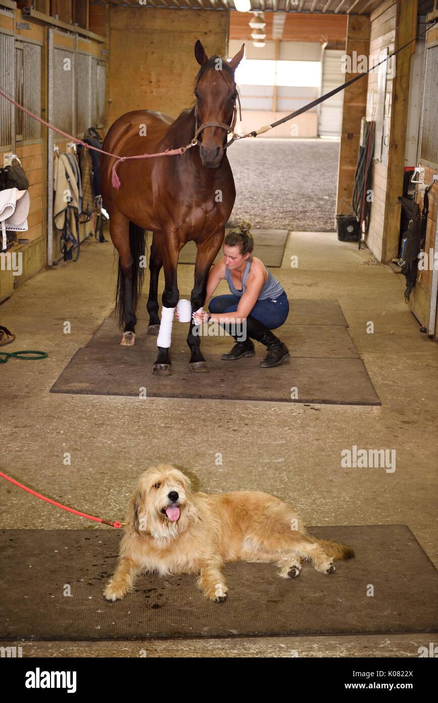 Jeune jument pur-sang emballage polos sur cheval avant l'équitation avec l'attente chien couché haletant sur le sol Photo Stock
