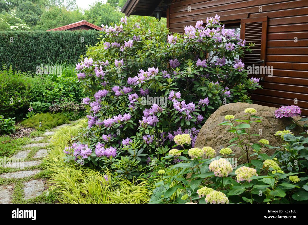 Rhododendron (rhododendron) et l\'hydrangea (hortensia) en ...