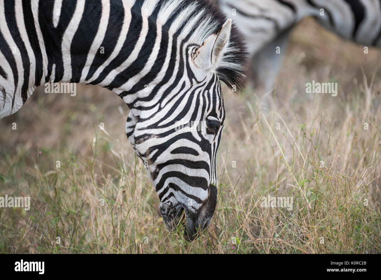 Le zèbre de Burchell pâturage dans le Parc National Kruger Banque D'Images