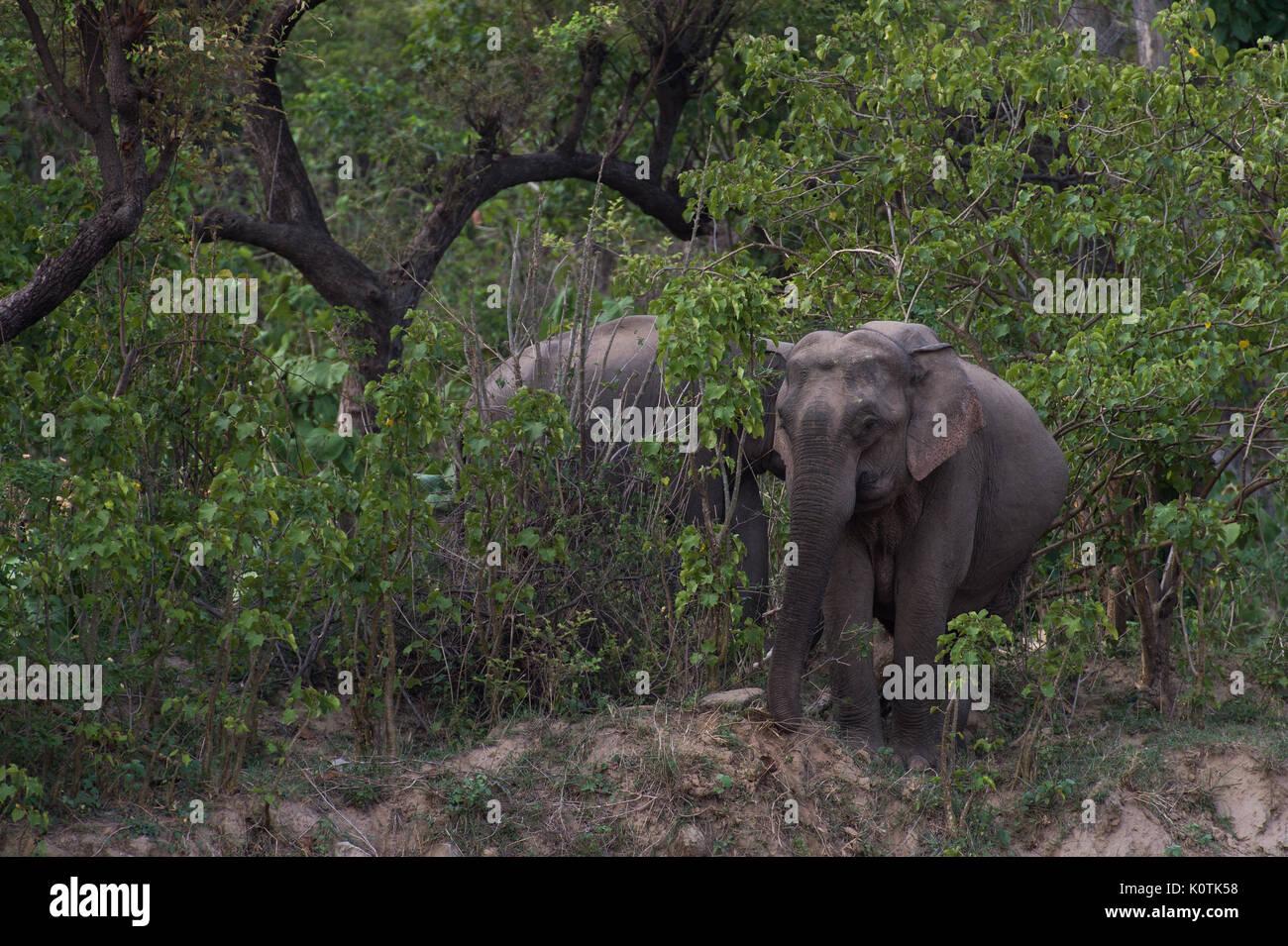 L'éléphant indien, Elephas maximus indicus, Elephantidae,Parc national de Rajaji, Inde Photo Stock