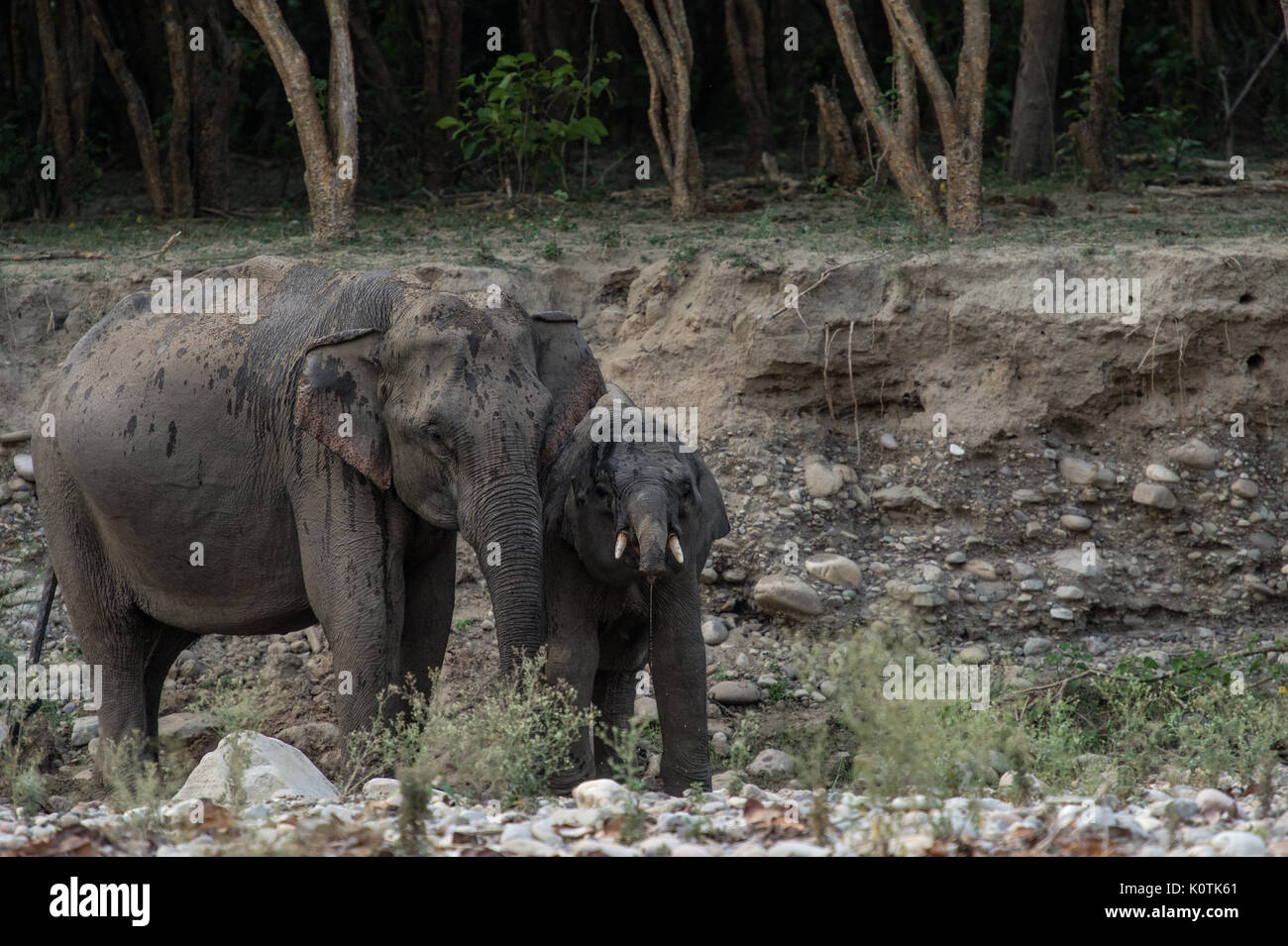 L'éléphant indien, Elephas maximus indicus, Elephantidae,Parc national de Rajaji, Inde Photo Stock