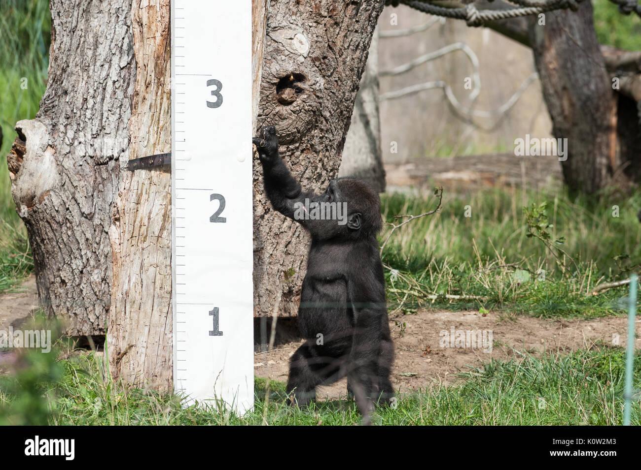 Londres, Royaume-Uni. 24 août, 2017. Mesurer les hauteurs de zoo de gorilles au cours de l'assemblée annuelle à la pesée ZSL London Zoo. Chaque année les détenteurs sur le Zoo de Londres enregistrer les statistiques de l'état des animaux à surveiller leur santé et leur bien-être général. Credit: Wiktor Szymanowicz/Alamy Live News Banque D'Images