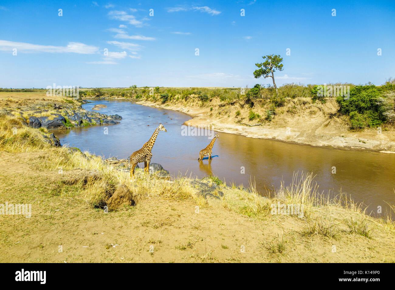 Vue de paysage avec deux girafes Masai (Giraffa camelopardalis tippelskirchi) sur la rive et passage à niveau de la rivière Mara, Masai Mara, Kenya Photo Stock