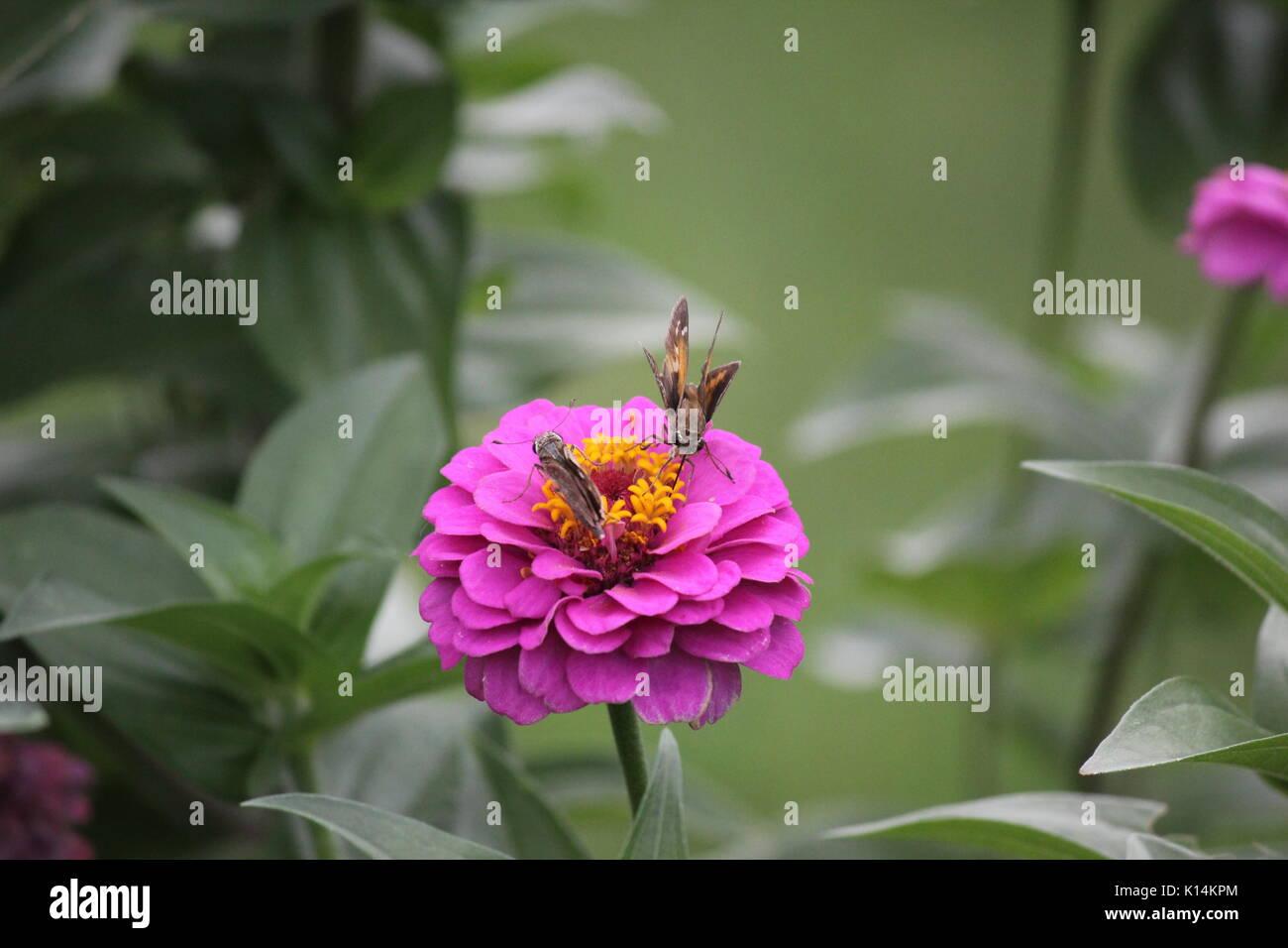 015f303fff395 Deux petits papillons skippers jouent autour des fleurs roses zinnias Photo  Stock