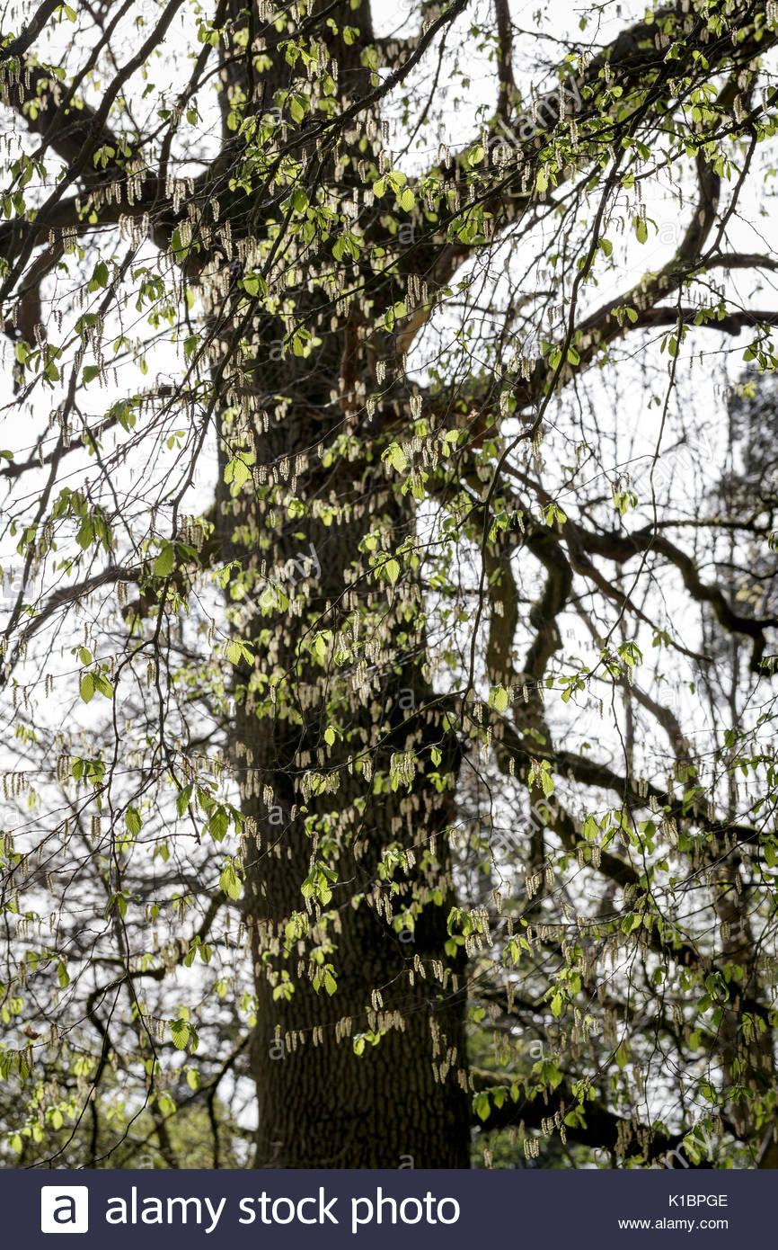 Carpinus betula 'Pendula', pleurant charme Photo Stock