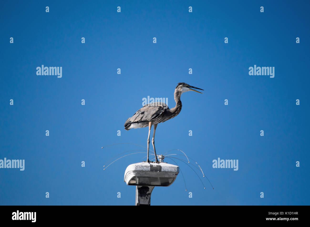 Un héron cendré perché sur un poteau de lumière avec le fil anti-oiseaux. Photo Stock
