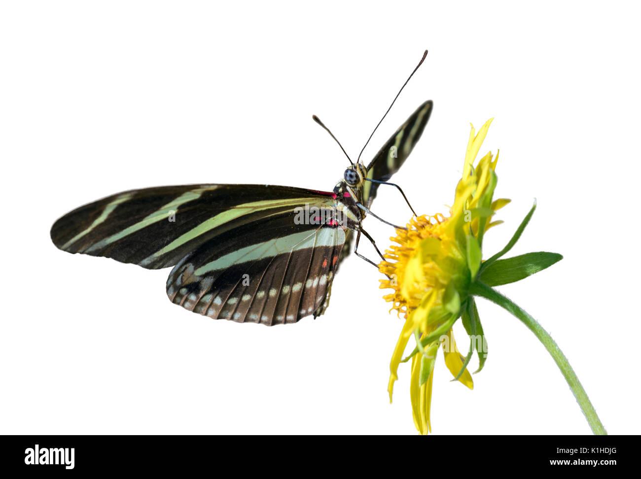 Zebra Longwing (Papillon Heliconius charitonius) se nourrissant sur une fleur, isolé sur fond blanc Photo Stock