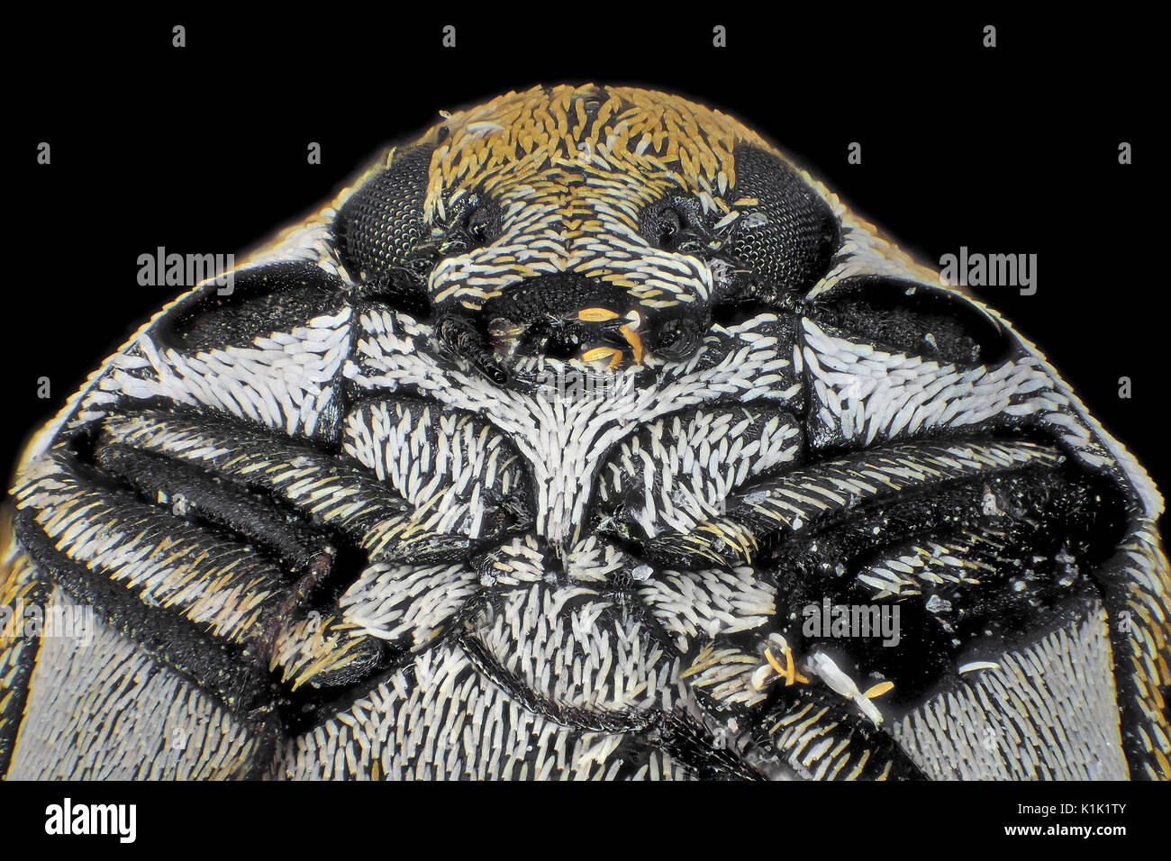 La lumière réfléchie de l'attagène micrograph varié (Anthrenus verbasci), sur la photo est d'environ 1,5 mm de large Photo Stock