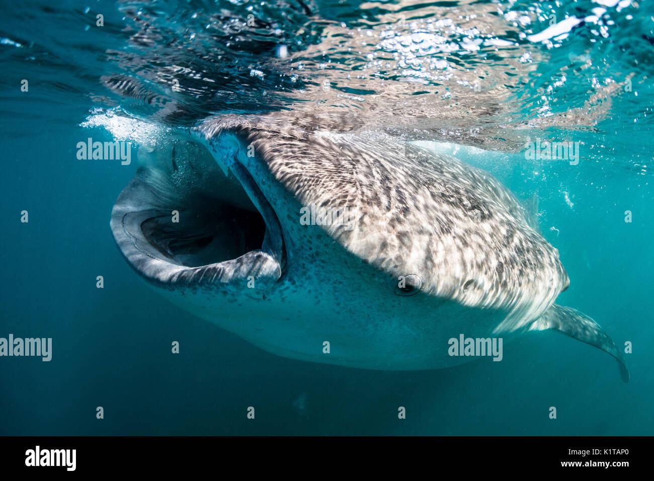 Un requin-baleine se nourrit de plancton et de krill près de la surface de la baie de La Paz, au Mexique. Banque D'Images