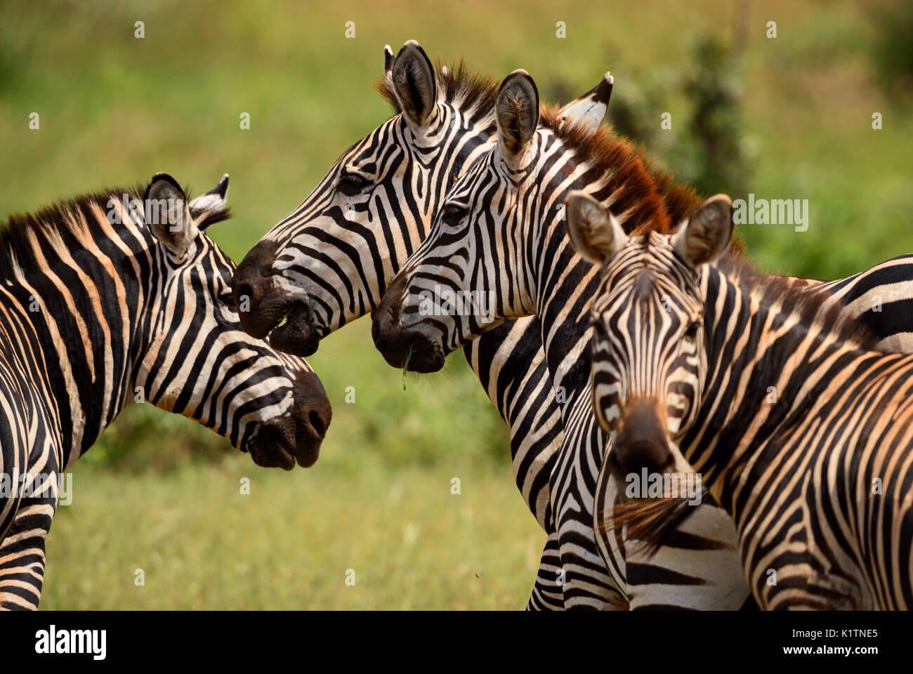 Zèbre des plaines - Equus quagga, l'Est de Tsavo, au Kenya Banque D'Images