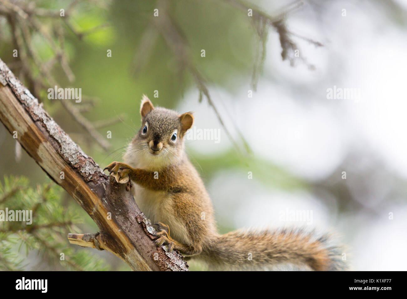 American Red Sqirrel, Tamiasciurus hudsonicus, Eagle River, Anchorage, Alaska, USA Photo Stock