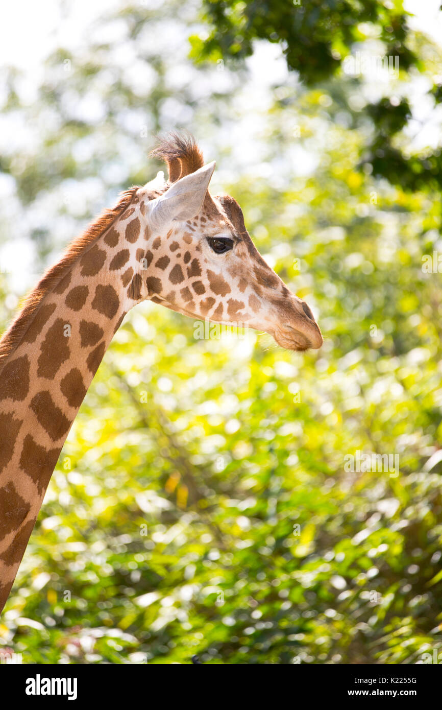 Portrait d'une Girafe (Giraffa) Photo Stock