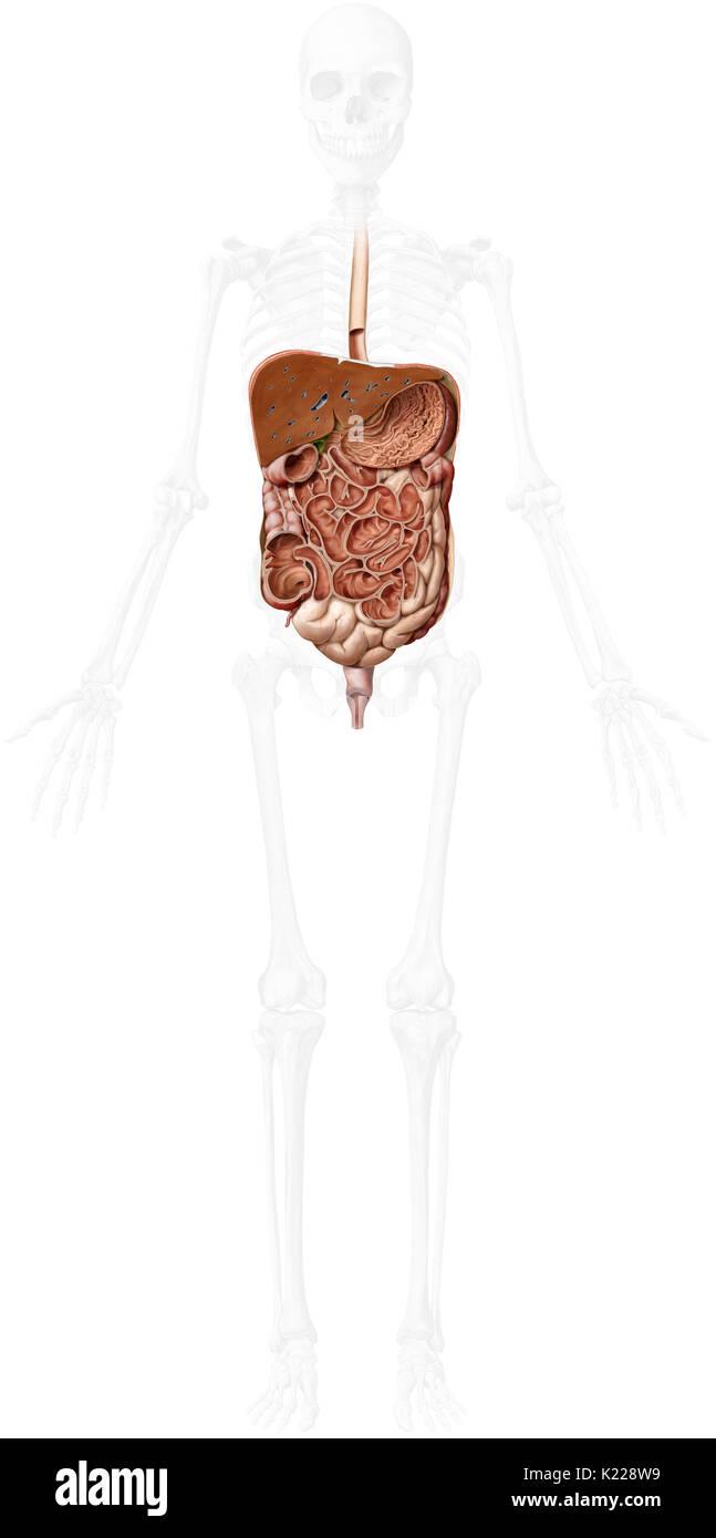Système formé par la bouche, le tube digestif et ses glandes qui utilise l'action mécanique, des enzymes ou des sécrétions pour décomposer la nourriture, absorber les nutriments et expulser les déchets. Photo Stock