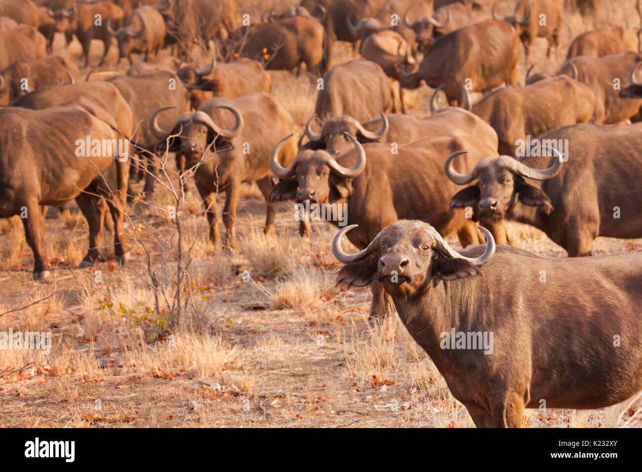 Un troupeau de buffles dans le parc national Kruger en Afrique du Sud au début de la lumière du soleil du matin. Photo Stock