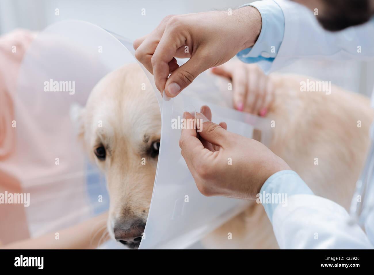 Close up de mains d'hommes que le port d'arrêt en plastique sur dog Photo Stock