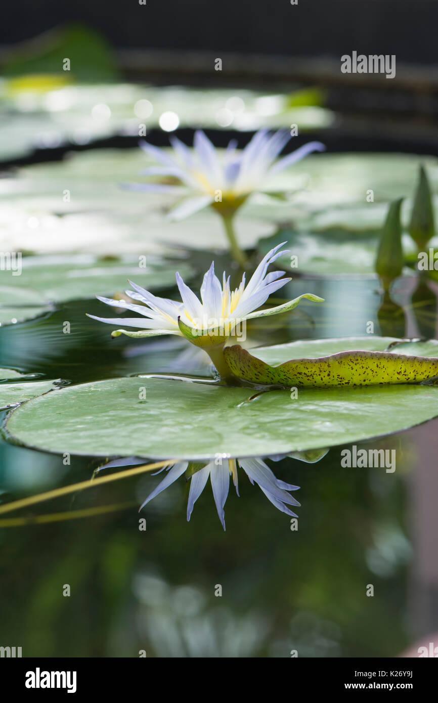 Nymphaea Caerulea Lotus Bleu D Egypte Fleurs Avec Accent