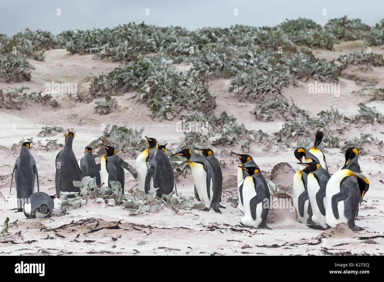 Manchot royal Aptenodytes patagonicus Volunteer Point East Island Îles Falkland (Malvinas) Banque D'Images