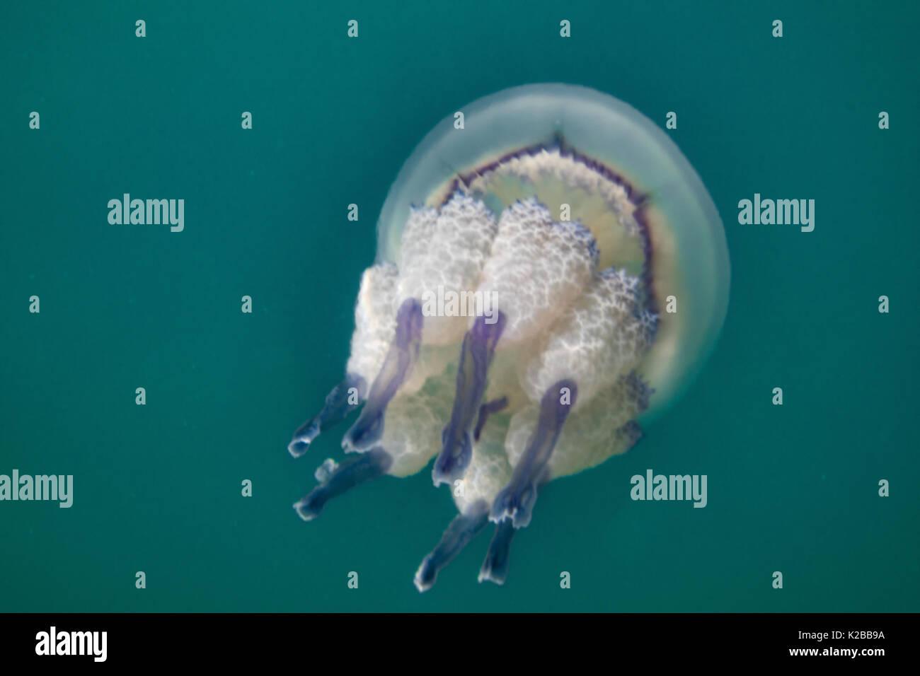 Méduse, méduse dans le bleu de l'océan, Close up. Photo Stock