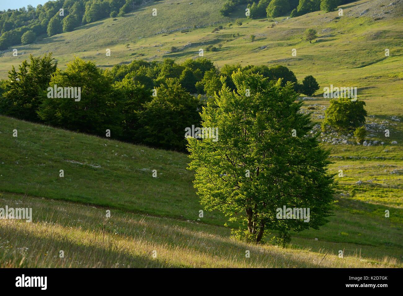 Des Apennins centrales Rewilding, Région Lazio e Molise Parc National, Abruzzes, Italie, juin 2014. Photo Stock