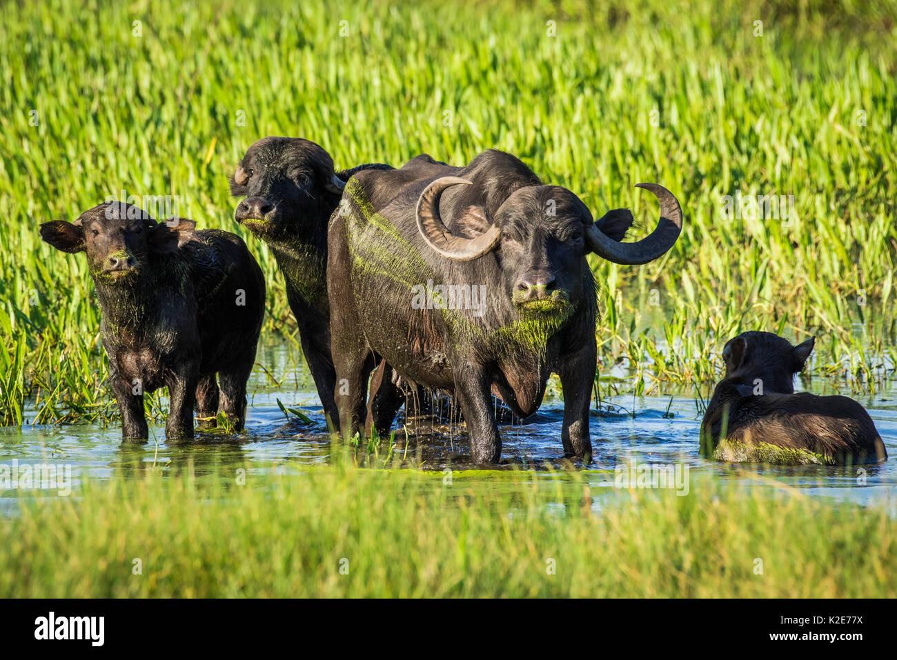 Buffle d'Asie sauvage (Bubalus arnee) dans la zone de marais, Pantanal, Mato Grosso do Sul, Brésil Photo Stock