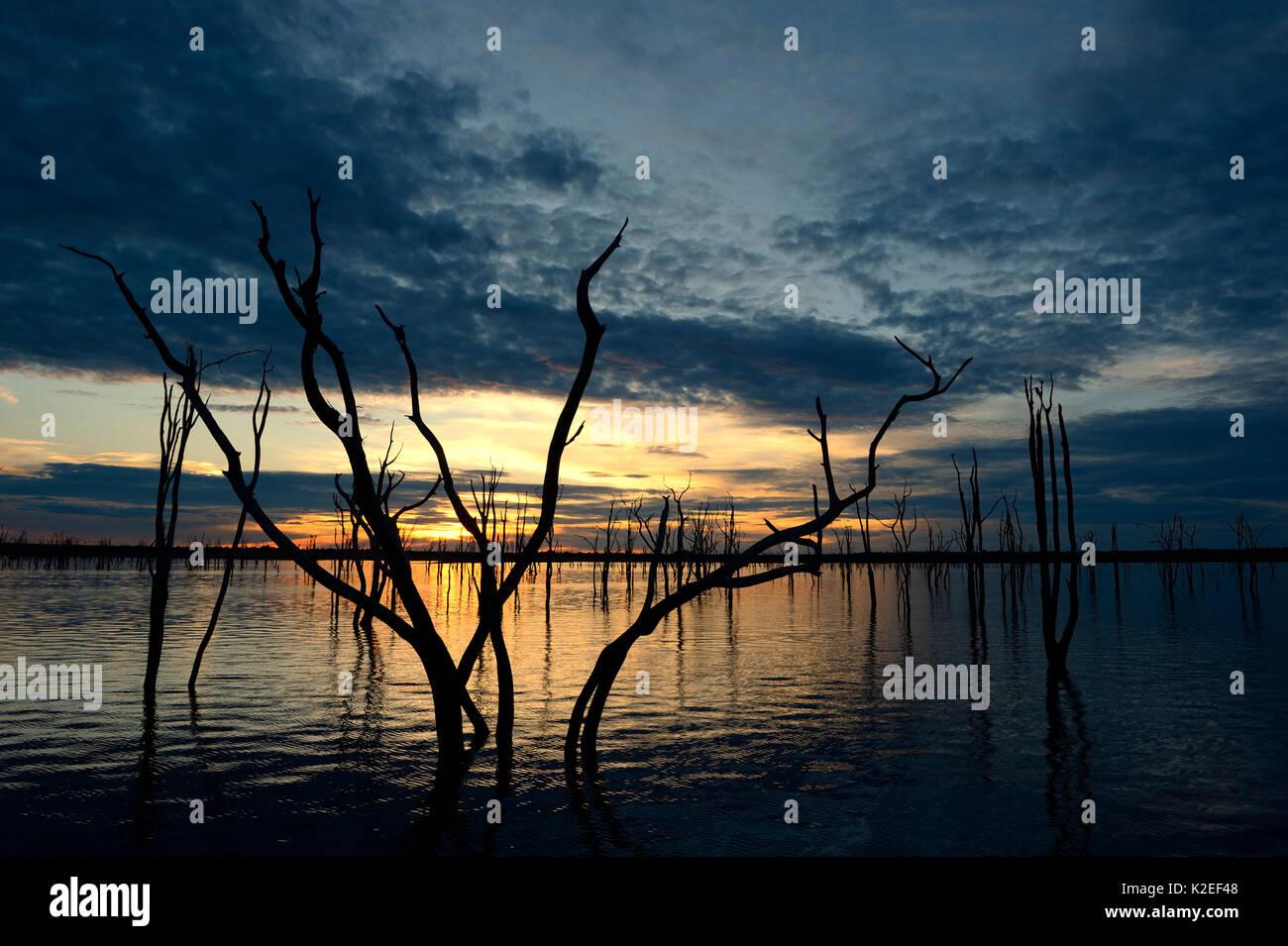 Arbres Mopane morts (Colophospermum mopane) partiellement submergée dans le lac Kariba au coucher du soleil, Matusadona National Park, Zimbabwe Photo Stock