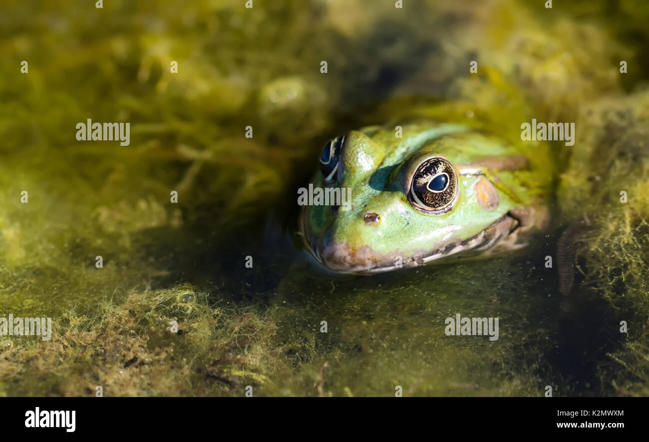 Grenouille des marais vert habitat naturel, camouflage amphibian Pelophylax ridibundus. Macro-vision, selective focus, l'arrière-plan les plantes de la rivière Photo Stock