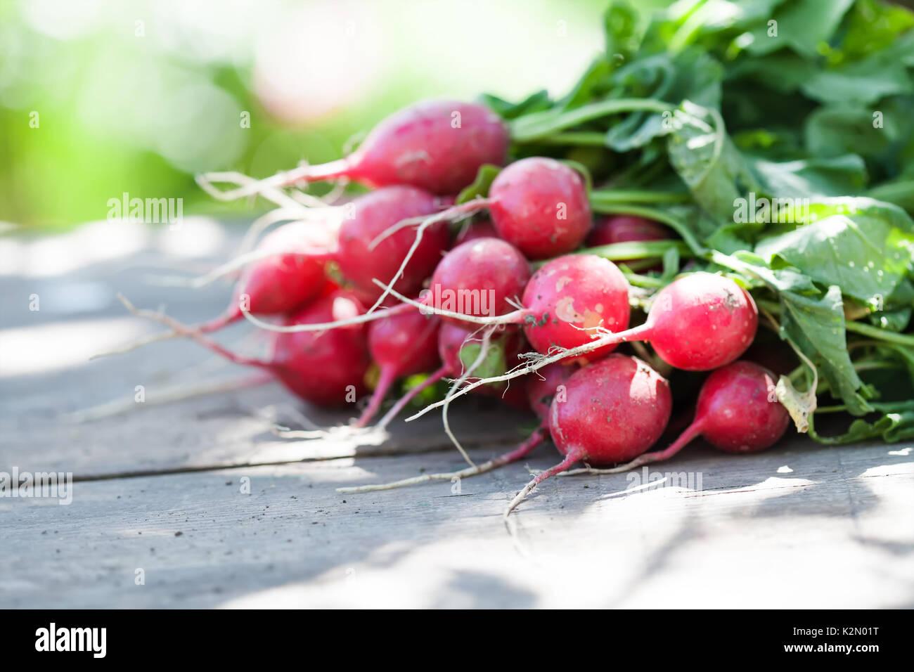 Les radis mûrs sur fond de table en bois vintage. Journée ensoleillée, les agriculteurs récoltent encore la vie. Peu de profondeur champ, selective focus Photo Stock
