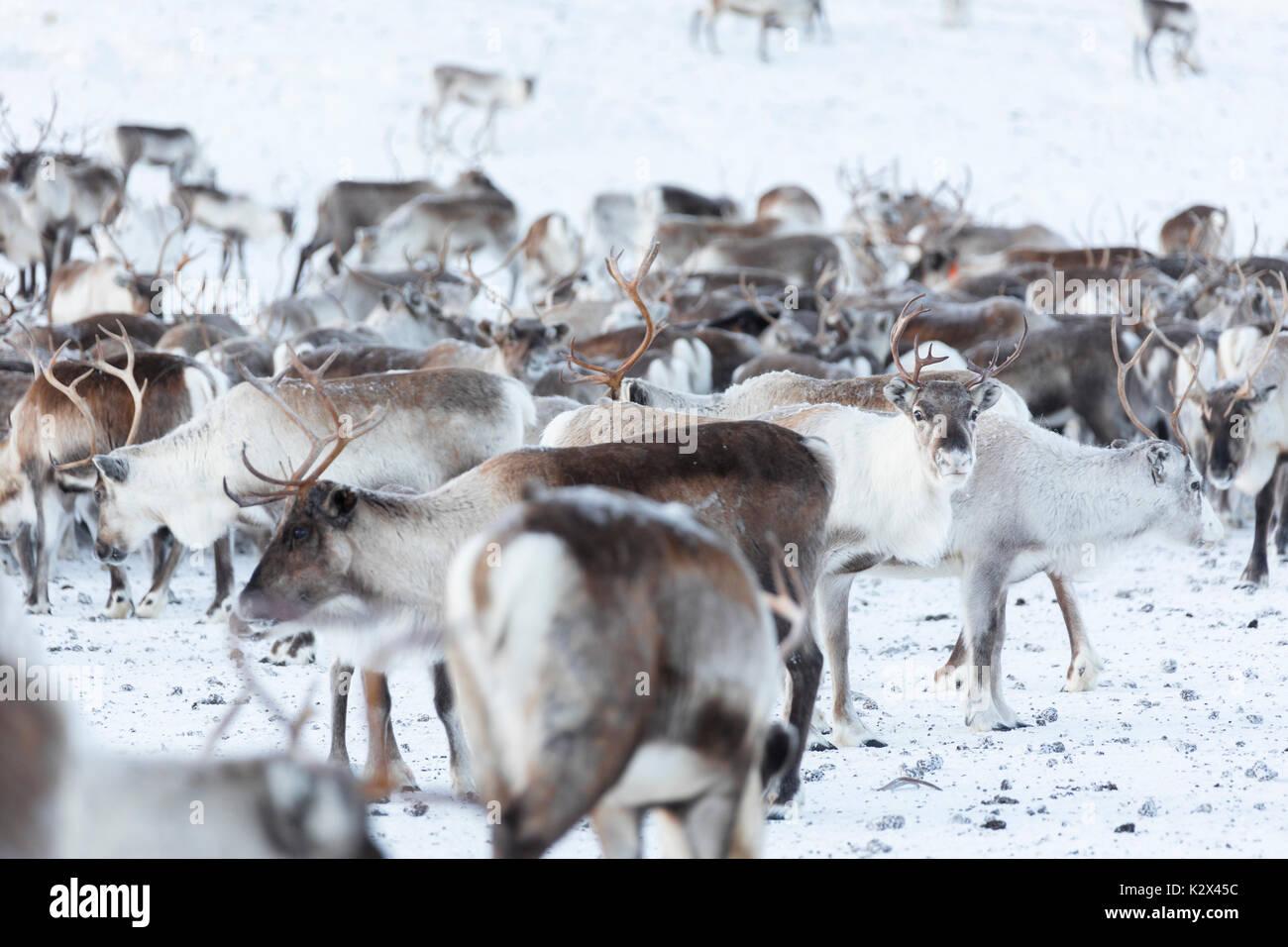 Troupeau de rennes, Abisko, Municipalité du comté de Norrbotten, Kiruna, Lapland, Sweden Photo Stock