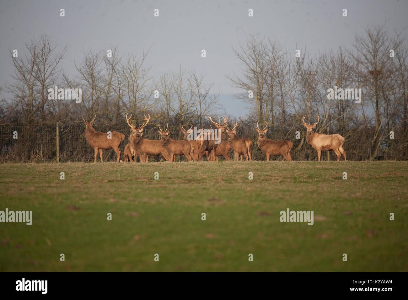 Red Deer Stags (mâle) pour la venaison Photo Stock
