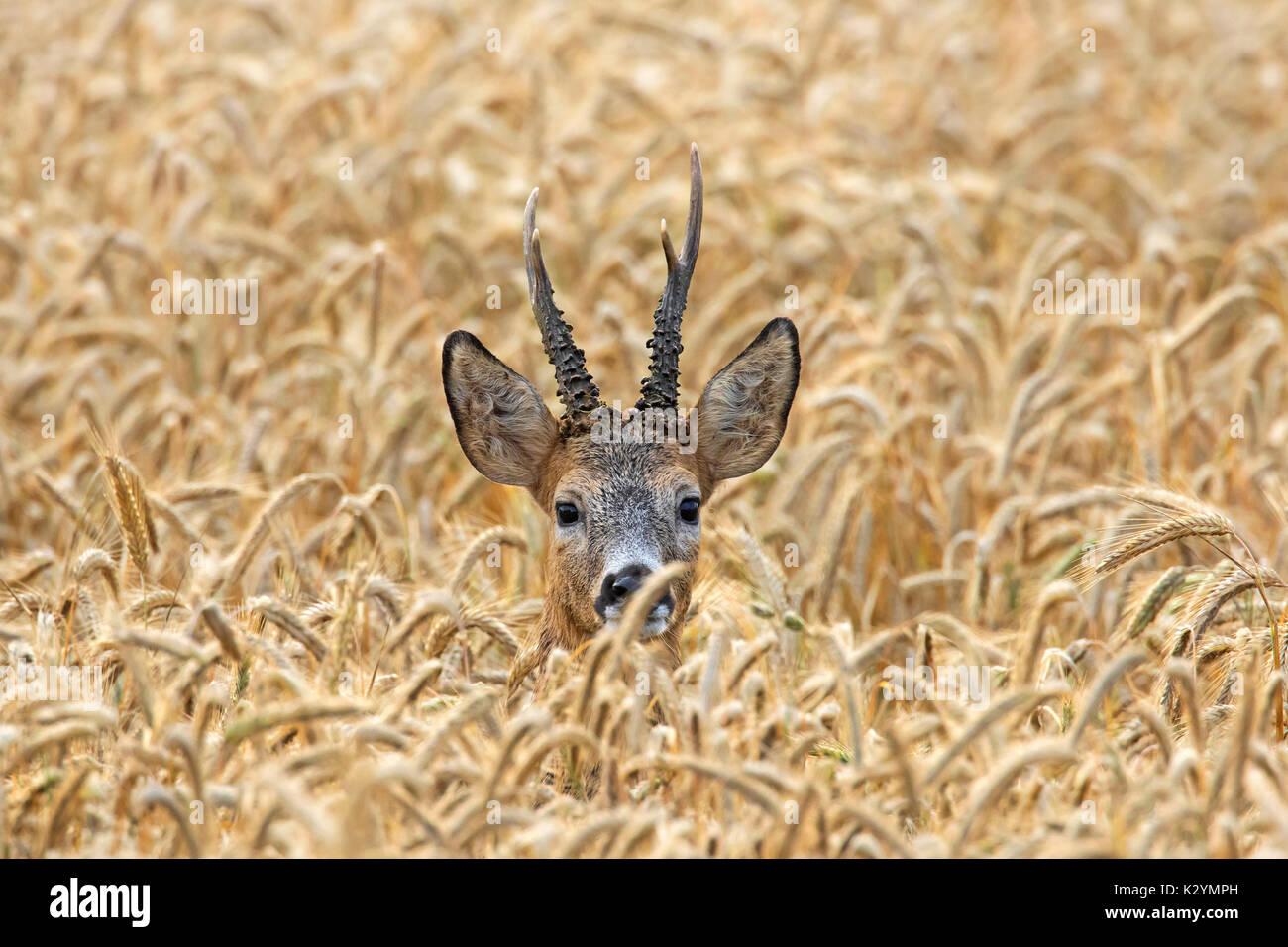 Le chevreuil (Capreolus capreolus) buck se cachant dans des champs de céréales en été Photo Stock