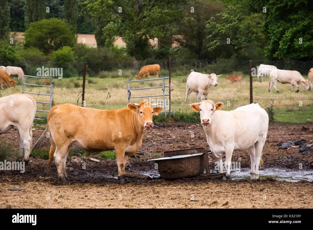Ferme d'élevage de vache., las merindades county Burgos, Castille et Leon, Espagne, Europe Banque D'Images
