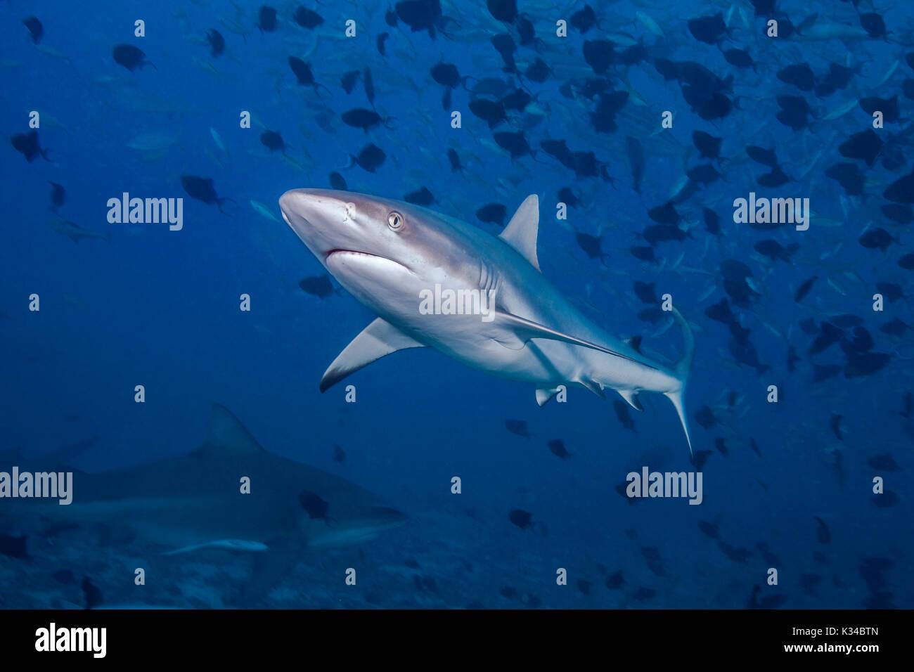 Requin gris de récif (Carcharhinus amblyrhynchos) en premier plan avec le requin taureau dans l'ombre fond bleu ci-dessous. Lagon de Beqa, Fidji. Photo Stock
