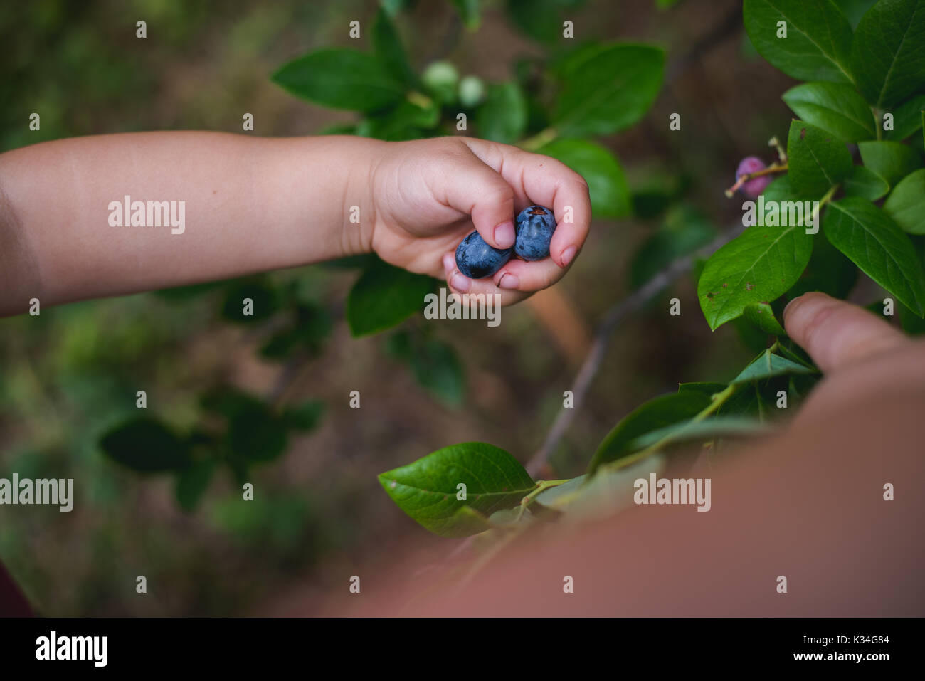 Enfant mains tenant des bleuets frais provenant d'une exploitation agricole. Photo Stock