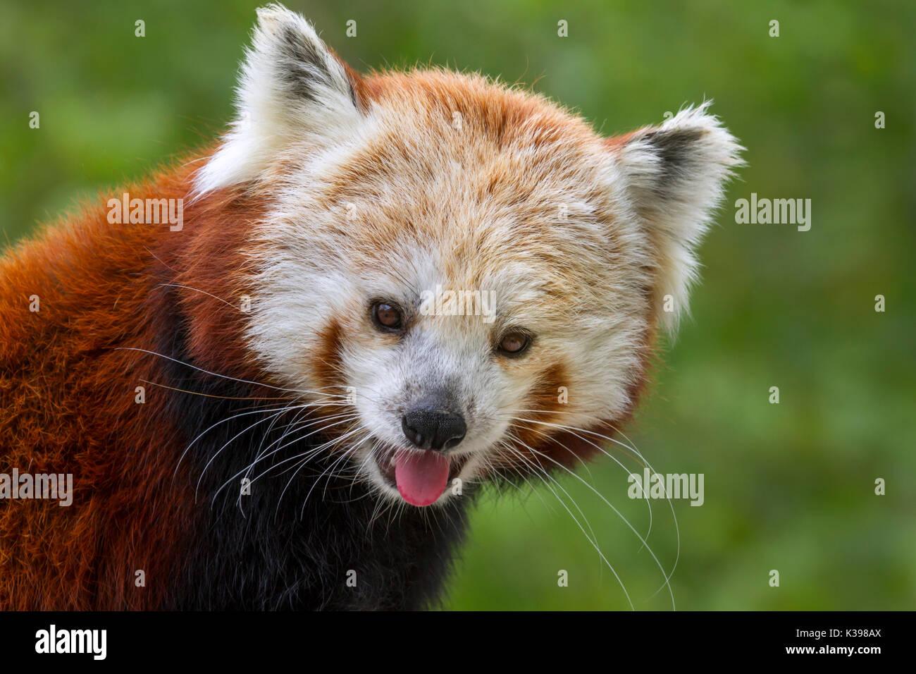 Le panda rouge (Ailurus fulgens) au Zoo Vierge Des Moines, IA, USA Photo Stock
