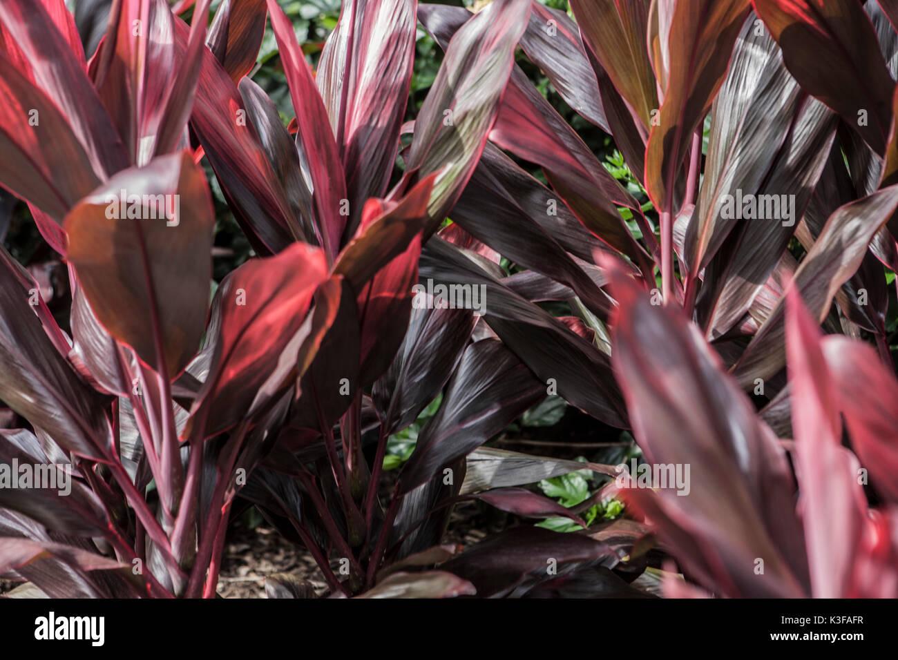feuille de bananier 4 plantes rouge banque d'images, photo stock