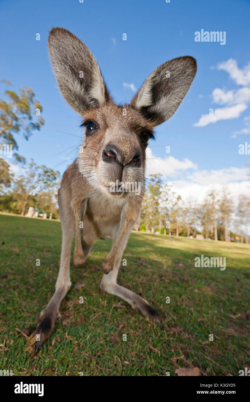 Kangourou gris, Macropus giganteus, Brisbane, Australie Photo Stock