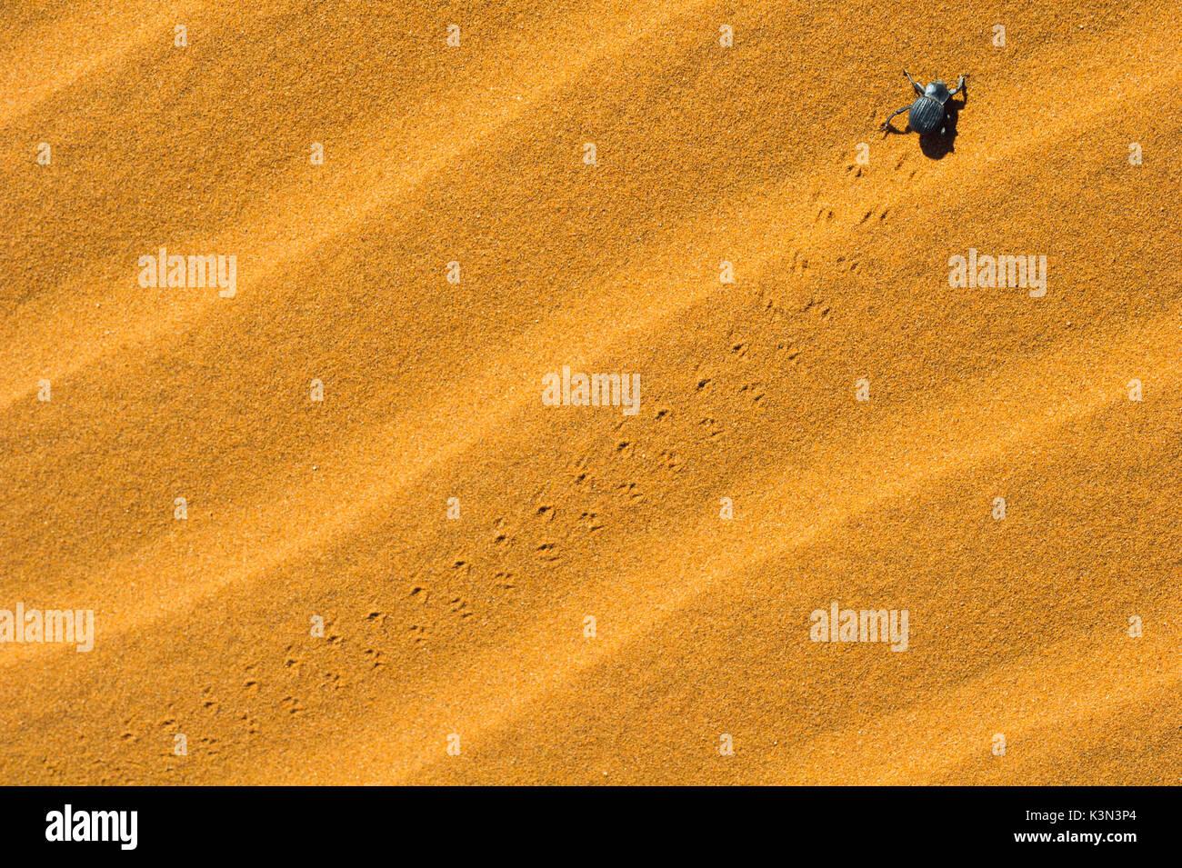 Sossusvlei, désert du Namib, Namibie, Afrique. Désert du Namib beetle. Banque D'Images