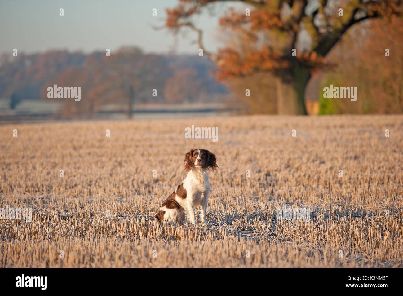 Springer spaniel sur un matin d'automne Photo Stock