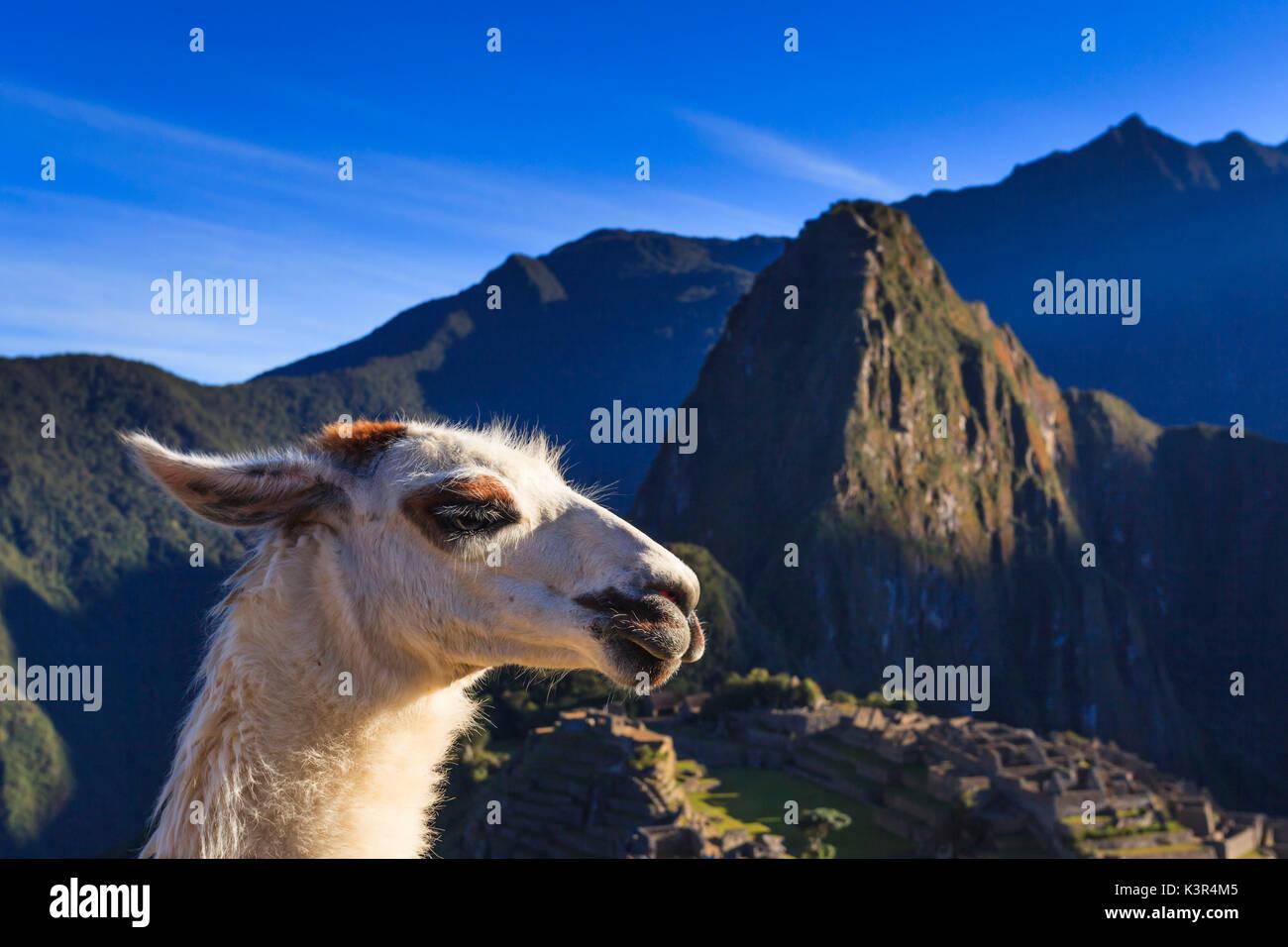 Llama au célèbre site archéologique de Machu Picchu dans la région de Cuzco, la Province d'Urubamba, Machupicchu, Pérou, Amérique du Sud Photo Stock