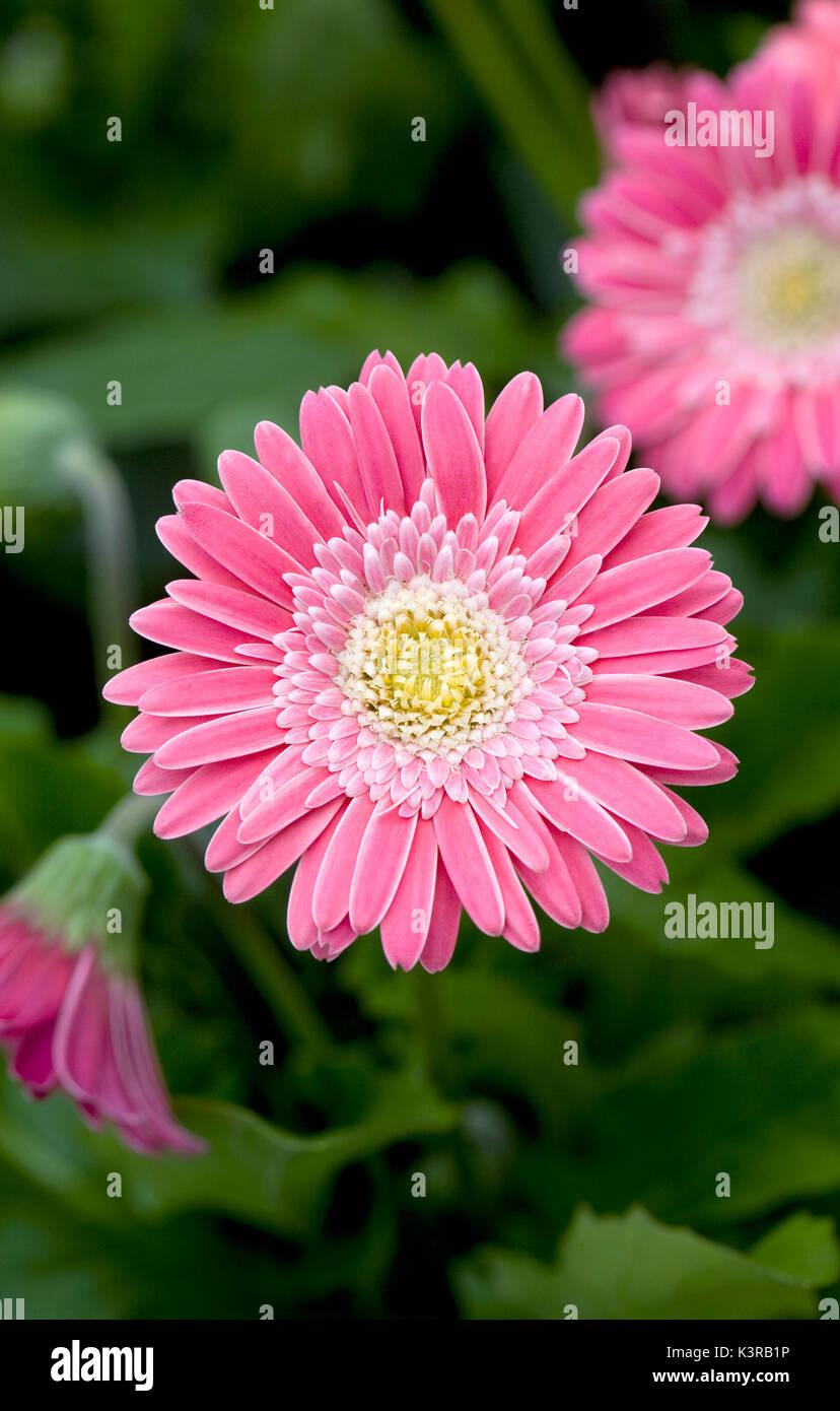 Gerbera Garvinea 'Sweet Memories Pink' fleurs. Banque D'Images