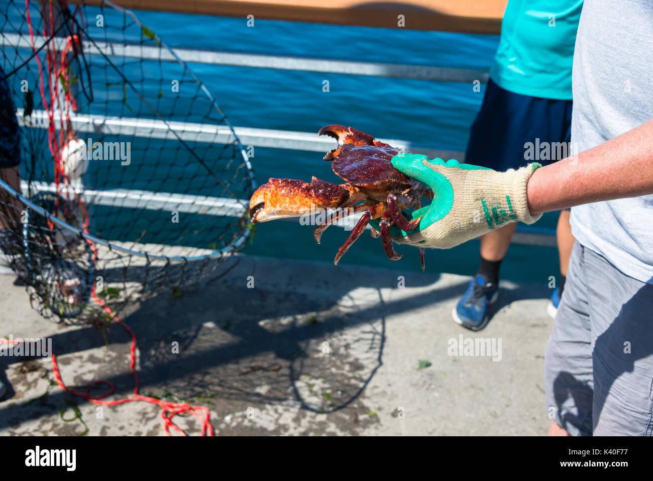 Crabe commun Rouge tenue en main près de Crab Pot sur la jetée de pêche, Edmonds, Washington Photo Stock